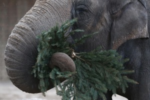 In Berlin, they feed them to elephants at the zoo. (Courtesy Getty Images)