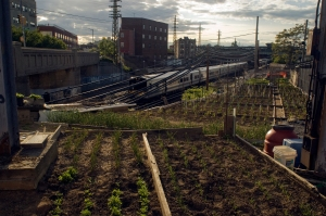 A small farm in Woodside, Queens, grows vegetables along the right-of-way of the Long Island Railroad. (Photo: Richard B. Levine)