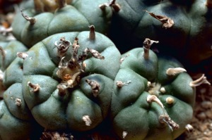 Mescal comes from the Peyote cactus