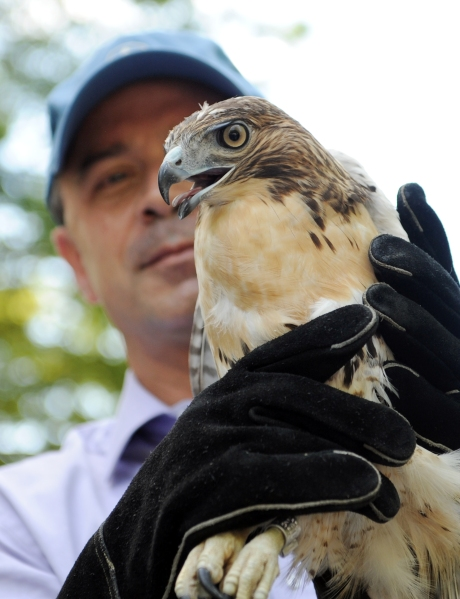 Mr. Benepe with a red-tailed hawk.