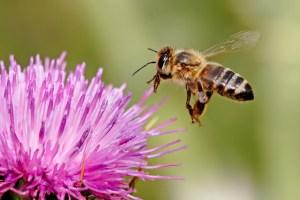 A bee. (Photo: Wikimedia)