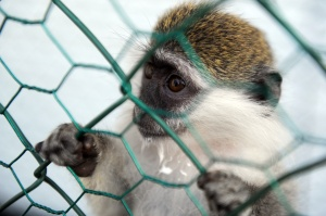 A well-behaved monkey (Getty).