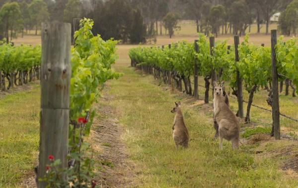 Hunter Valley Kangaroos