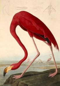 A flamingo, drawn by John James Audubon. (Photo via Wikimedia Commons)