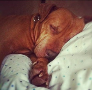 Alex de Campi's Pitbull Cathy is healthy and happy three years after being taken in by her new owners. (Photo: Craigslist)