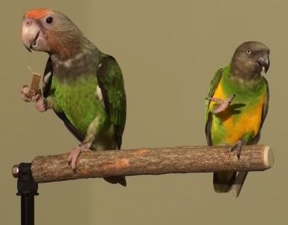 Truman (left) shares a perch with Kili, the Senegal Parrot (YouTube).