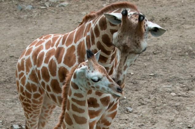 Cute! (Julie Larsen Maher/Wildlife Conservation Society)