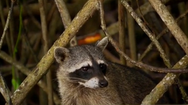 A raccoon? Where did they shoot this, Queens?!