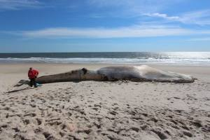 A whale carcass found on a Long Island beach died after being hit by a ship (The Riverhead Foundation for Marine Research and Preservation)