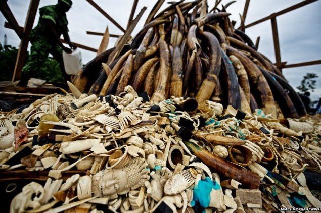 Stockpile of African ivory items and tusks being burned. (Courtesy World Wildlife Fund.)