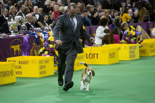 Miss P. , who won Best in Show Tuesday, competing in the ring. (Photograph by Michael Nagle for The New York Observer.)