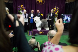 Swoon, an Old English Sheepdog, wins the best of the herding group. (Michael Nagle for The New York Observer.)