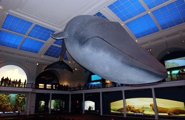 The resculpted and repainted 94-foot-long blue whale model hangs over the exhibit space at the American Museum of Natural History during a media preview May 12, 2003 in New York City.