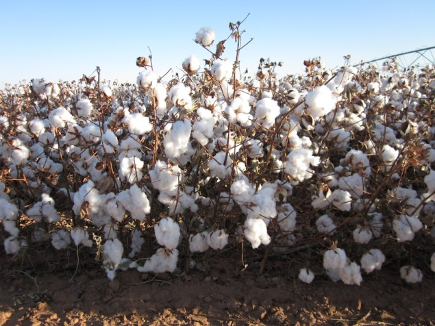 Zady used 100% USDA cotton that was locally harvested in Texas (photo: Zady)