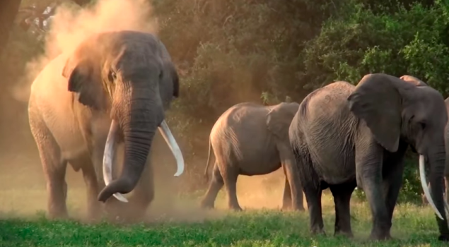 These cuties are at risk of extinction by poachers. (Photo: YouTube)