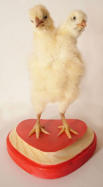Two-headed Chick Taxidermy by Divya Anantharaman. (Photo: Courtesy of The Morbid Anatomy Museum)