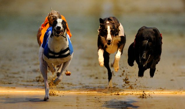 WIMBLEDON, ENGLAND - MAY 31: Salad Dodger (T2, L) wins The William Hill Greyhound Derby at Wimbledon Stadium on May 31, 2014 in Wimbledon, England. (Photo by Alan Crowhurst/Getty Images)