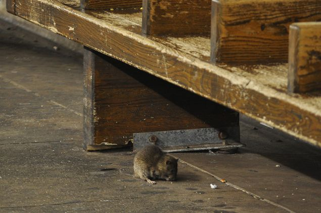 Just a normal subway rat. (Ludovic Bertron/flickr)