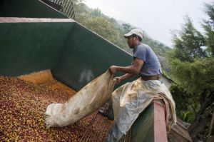 A worker empties a sack of coffee beans at San Victor farm in Los Verdes village, Fraijanes municipality, 35 km of Guatemala City on January 17, 2013. Central America, one of main producers of the best Arabica Coffee, is analyzing to take measures to combat the Roya (Puccinia graminis) blight already threatening more than one third of the grain crop, one of the region's major export items. AFP PHOTO/Johan ORDONEZ (Photo credit should read JOHAN ORDONEZ/AFP/Getty Images)