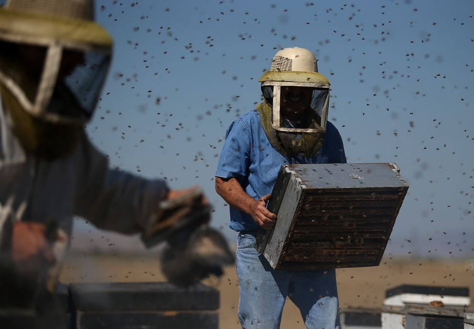 LOS BANOS, CA - SEPTEMBER 05: Gene Brandi with Gene Brandi Apiaries carries a bee hive on September 5, 2014 in Los Banos, California. As California's severe drought pushes through its third year, honey bees are producing less honey due to a lack of wildflowers and fewer farm crops that honey bees extract nectar from to produce honey.