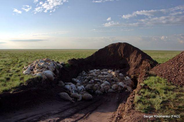 Saiga Mass Deaths Credit Sergei Khomenko