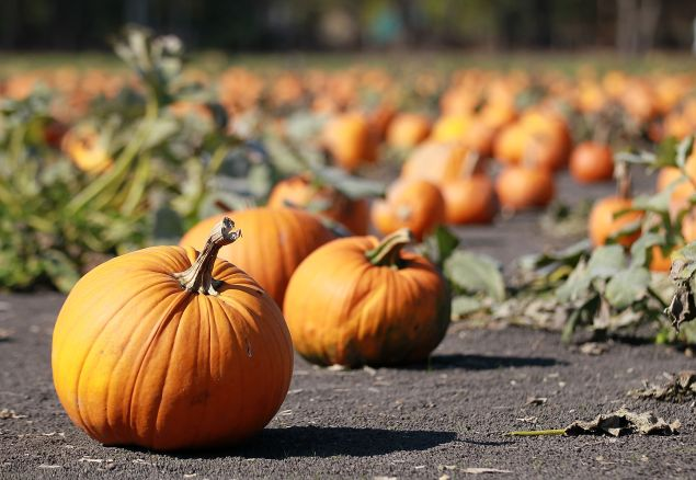 PETALUMA, CA - OCTOBER 28: Pumpkins are seen at Petaluma Pumpkin Patch on October 28, 2011 in Petaluma, California. According to a study by the National Retail Federation, Americans will spend nearly $6.9 billion on Halloween costumes, decorations and candy this year. (Photo by Justin Sullivan/Getty Images)
