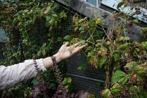 Tribeca-grown pears. Photo: Celeste Sloman for Observer