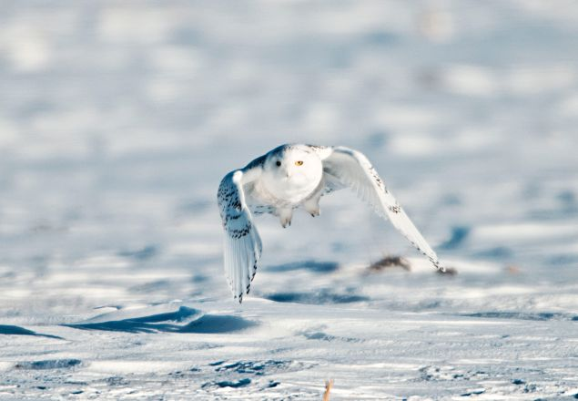 Snowy Owl in flight. (Photo Education Images/UIG via Getty Images)