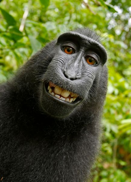 A selfie taken by Naruto, a 6-year-old crested macaque from the Indonesian island of Sulawesi. PIC BY A WILD MONKEY / DAVID SLATER / CATERS NEWS - (PICTURED: One of the photos that the monkey took with Davids camera. 1 of 2: This photo was the original photo the monkey took) - The photographer behind the famous monkey selfie picture is threatening to take legal action against Wikimedia after they refused to remove his picture because 'the monkey took it'. David Slater, from Coleford, Gloucestershire, was taking photos of macaques on the Indonesian island of Sulawesi in 2011 when the animals began to investigate his equipment. A black crested macaque appeared to be checking out its appearance in the lens and it wasn't long before it hijacked the camera and began snapping away. SEE CATERS COPY.
