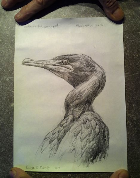 Mr. Boorujy's drawing of a double crested cormorant enclosed in the bottle.