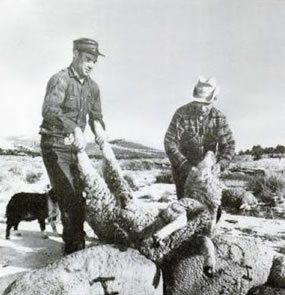 Farm workers tend to the dead Dugway sheep.