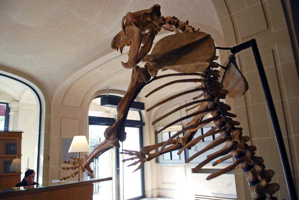 FRANCE - APRIL 03: A 2.3 meter (7 1/2 feet) prehistoric cave bear skeleton is seen on display at Christie's in Paris, France, on Tuesday, April 3, 2007. The bones of the creature, which lived in what's now Siberia before the last ice age ended about 10,000 years ago, will be auctioned April 16 along with those of a woolly rhinoceros and about 80 smaller fossils.