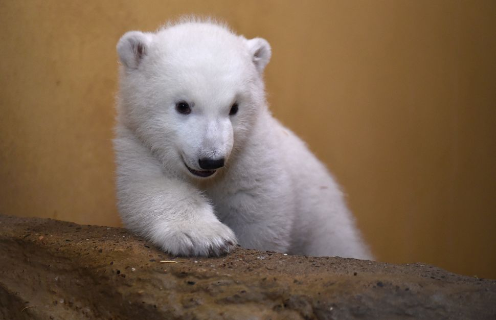 A female baby polar bear is pictured on March 9, 2016 at the zoo in Bremerhaven, northwestern Germany. The baby bear was born on December 11, 2015 at the zoo. / AFP / POOL / Carmen Jaspersen