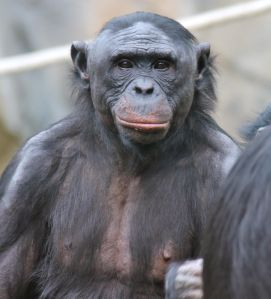 The randy Bonobo is a more apt mascot than the donkey for the Democrats.