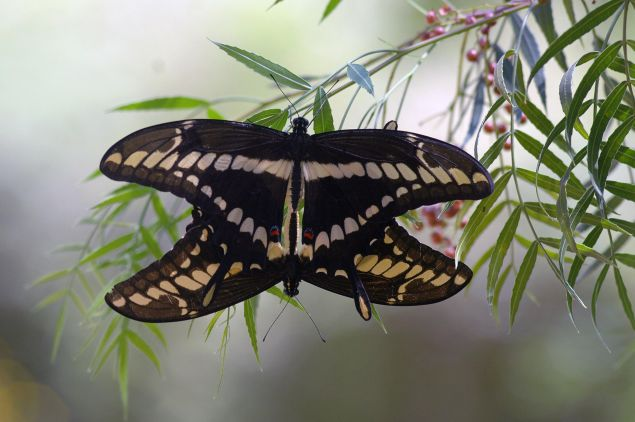 Schaus' Swallowtail (Papilio Aristodemus) butterflies copulate in the branch of an Anacahuita (Schinus molle) in Pinamar, some 40km east of Montevideo on February 6, 2008.