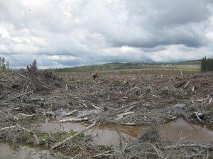 A farmer plants trees near Lebel-Sur-Quevillon, Quebec, in Canada's boreal forests.