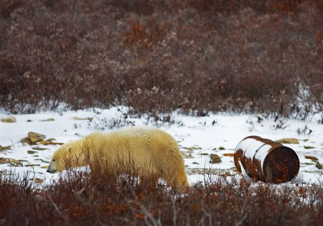 A Polar Bear walks past an oil drum on the edge of Hudson Bay.