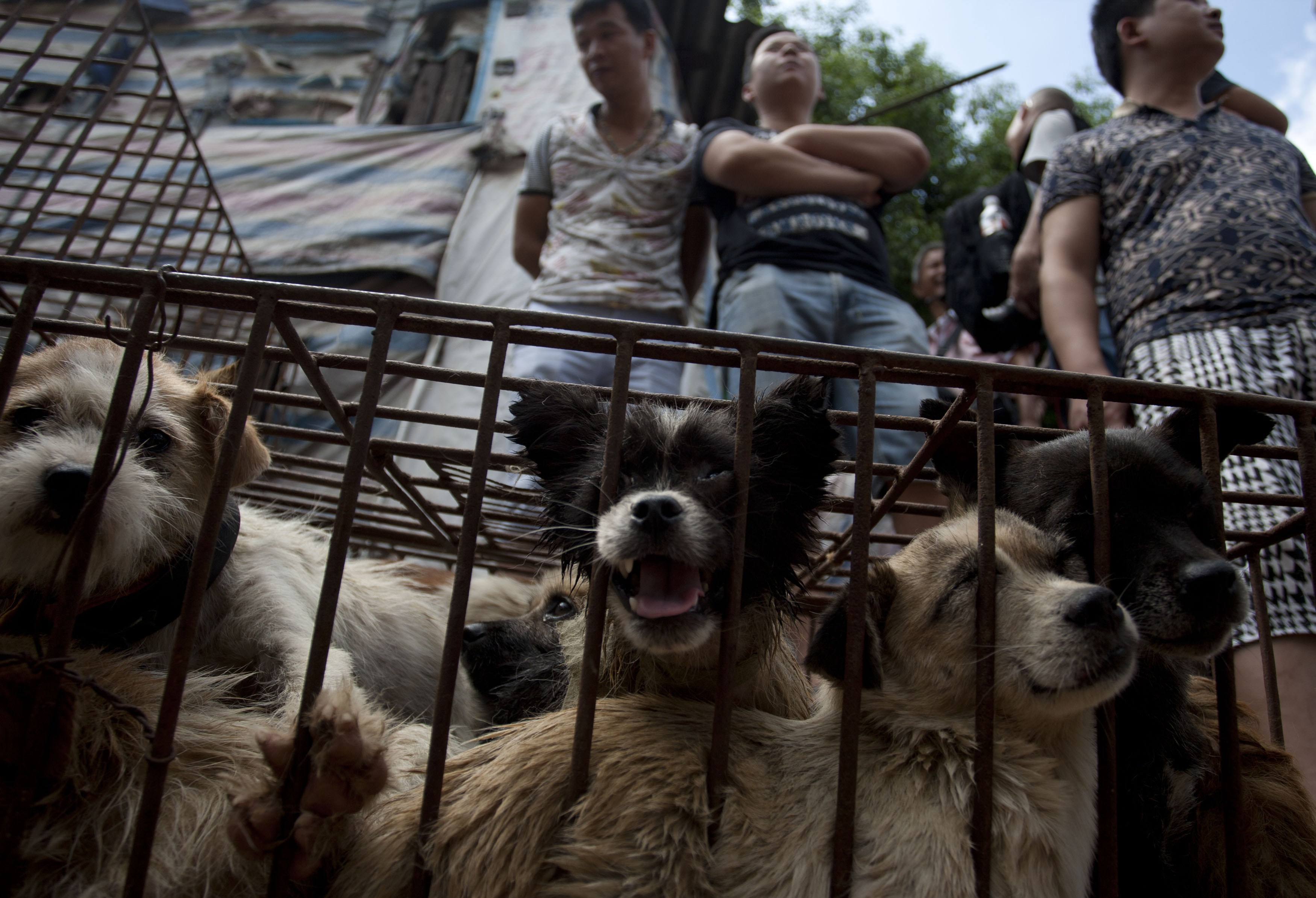 Vendors wait for customers to buy dogs in cages at a market in Yulin, in southern China's Guangxi province on June 21, 2015. The city holds an annual festival devoted to the animal's meat on the summer solstice which has provoked an increasing backlash from animal protection activists. CHINA OUT AFP PHOTO