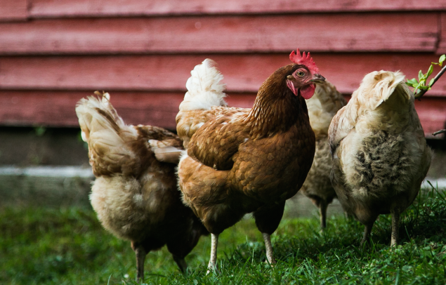 Hens that produced cage-free eggs are raised just as inhumanely.
