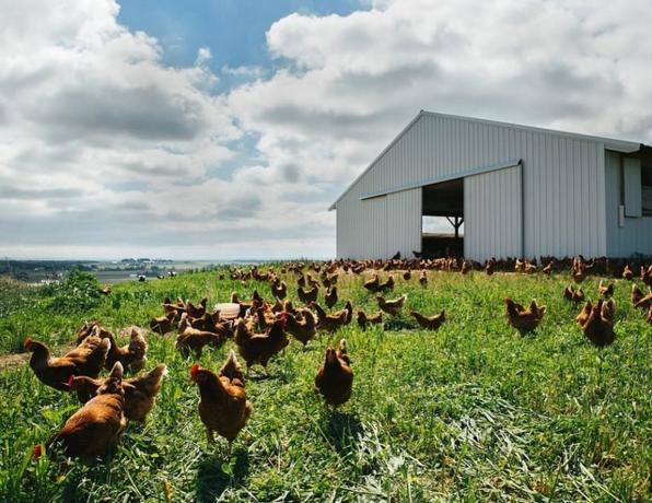 Hens roaming free at Handsome Brook Farm.