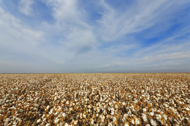 Supima Cotton field.