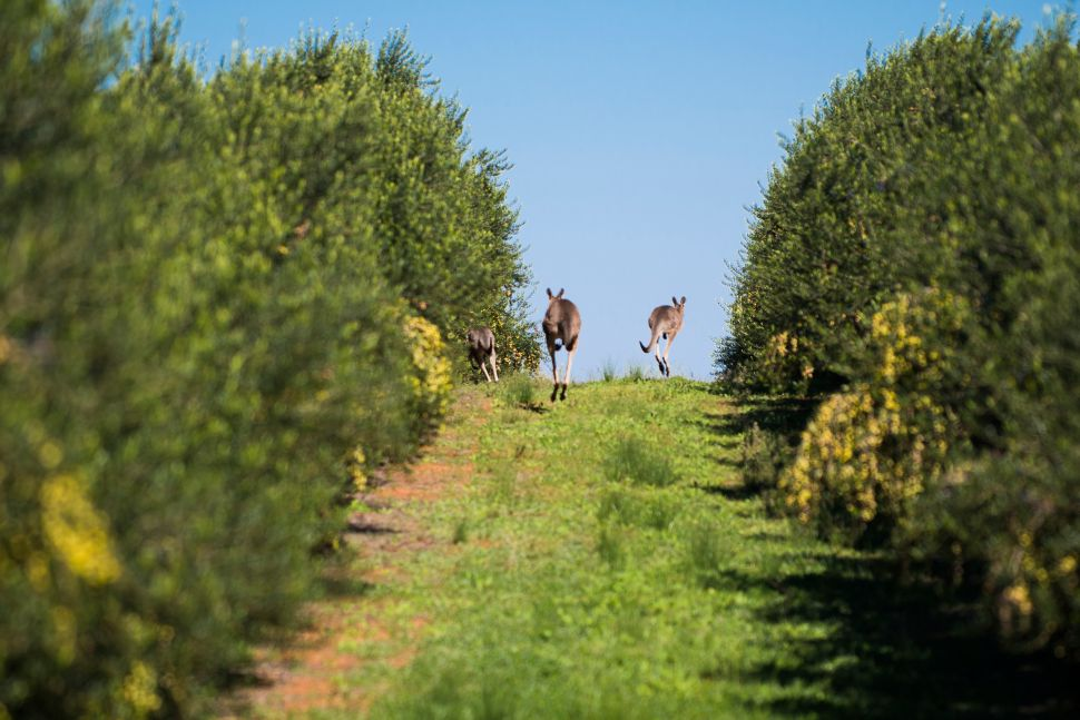 Cobram Estate's olive grove in Australia's Yarra Valley