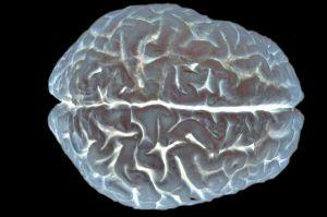 The cerebral cortex.