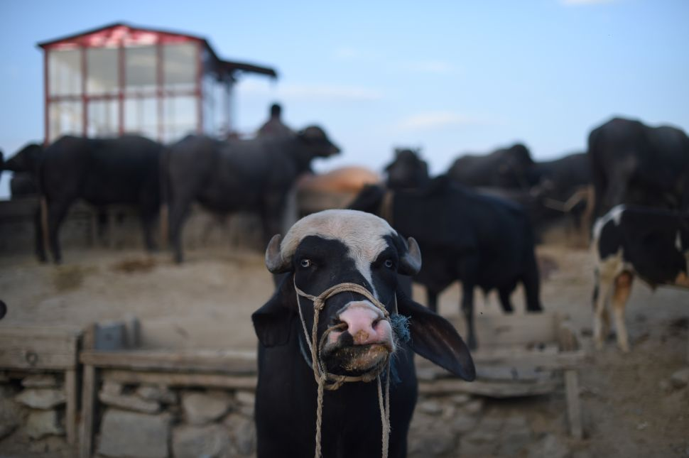 This picture taken on September 10, 2016, shows a calf at a cattle market before the upcoming Eid al-Adha (Feast of Sacrifice) festival, on the outskirts of Kabul on September 10, 2016. Muslims across the world prepare to celebrate the annual festival of Eid al-Adha or the festival of sacrifice which marks the end of the Hajj pilgrimage to Mecca and commemorates prophet Abraham's readiness to sacrifice his son to show obedience to God.