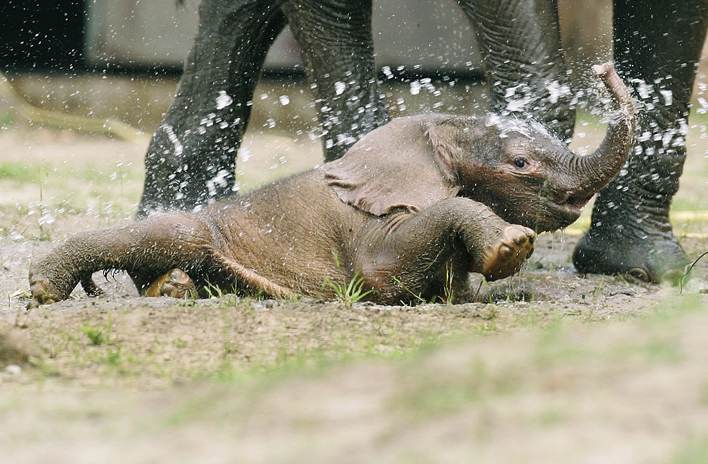 """The three day old as yet unnamed baby elephant plays with his mother """"Pori"""" in their enclosure at the Zoological Garden (Tierpark) Berlin on May 23, 2007 in Berlin, Germany. The baby elephant was dramatically saved from death by staff and members of the public after his mother tried to crush and drown him just moments after his birth. He is now reunited with his mother and is being watched over by guards."""