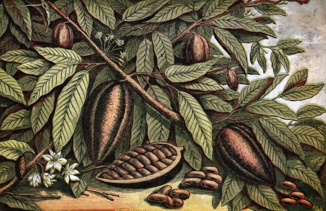 circa 1800: A branch carrying the fruit of the the obroma cocao.
