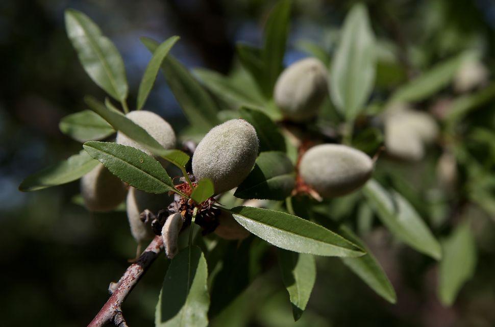 Almonds grow on a tree.