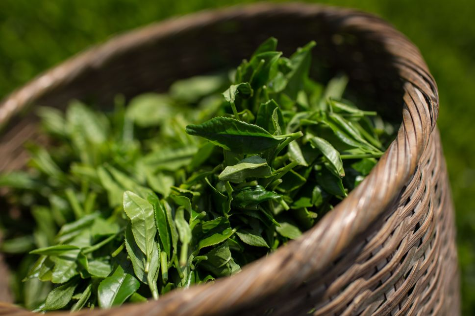 Freshly picked green tea leaves.