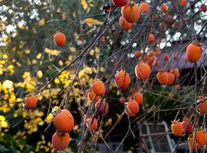 Persimmon beer was a popular drink in the Old South.