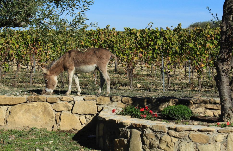 A donkey at Olinas vineyards.